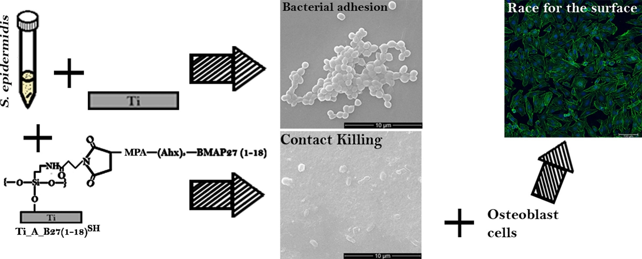 Covalent grafting of titanium with a cathelicidin peptide produces an osteoblast compatible surface with antistaphylococcal activity